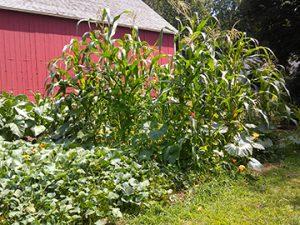 corn-squash-tobacco